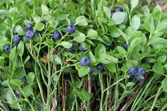 Bushes of blueberries Stock Photo