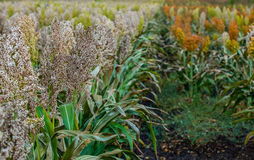 Bushes cereal and fodder plants of different varieties of sorghum mature and grow on the field in a row in the open air. Harvesting Royalty Free Stock Images