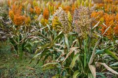 Bushes cereal and forage sorghum plant one kind of mature and grow on the field in a row. In the open air. Harvesting Royalty Free Stock Image