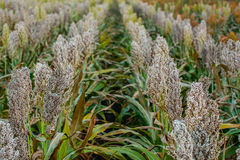 Bushes cereal and forage sorghum plant one kind of mature and grow on the field in a row in the open air. Harvesting Stock Photos