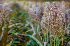 Bushes cereal and forage sorghum plant one kind of mature and grow on the field in a row in the open air. Harvesting Stock Images