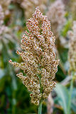 Bushes cereal and forage sorghum plant one kind of mature and grow on the field in a row in the open air. Harvesting. Corn close-up Stock Photography