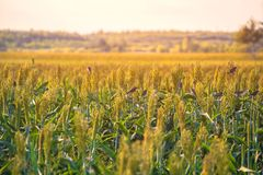 Bushes cereal and forage sorghum plant one kind of mature and grow on the field in a row outdoors. Harvesting stock photography