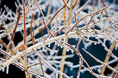 Bushes coverd by freezing rain   Stock Image