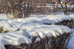 Bushes covered with snow in Siberia. Bushes covered with white snow in Siberia Stock Photography