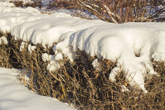 Bushes covered with snow in Siberia. Bushes covered with white snow in Siberia Stock Photo