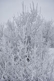 Bushes covered with snow. Winter bushes covered with fluffy snow crystals Stock Photos