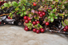 Bushes cranberries. Royalty Free Stock Photo