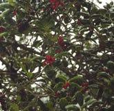 Winter scene of berries in snow royalty free stock photos