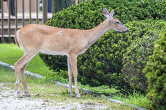 In The Bushes. A deer in the yard munching on some shrubs Stock Photo