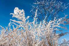 Bushes dressed in a fabulous winter finery. Bushes covered beautiful hoarfrost on a background of blue sky Royalty Free Stock Image