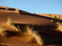 Bushes on the dunes. Photo was taken in Morocco on the Sahara royalty free stock image