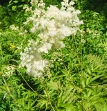White Filipendula in the forest. The bushes Filipendula of the forest in the forest glade. Blurred background Stock Image