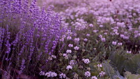 Bushes of flowering lavender stock video