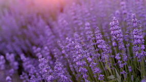 Bushes of flowering lavender stock footage