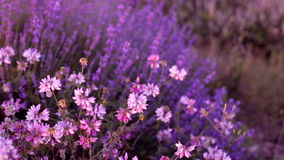 Bushes of flowering lavender stock video footage