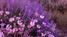 Bushes of flowering lavender stock video footage