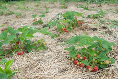 Bushes of fresh organic strawberries Stock Photos