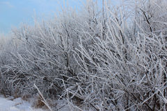 Bushes in frost Royalty Free Stock Images