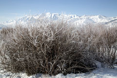 Bushes frosted in a snowy winter mountain landscape Royalty Free Stock Photo