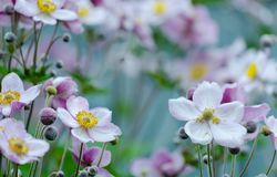 Bushes in the garden flowers Japanese anemone. Perennial flowers of the Japanese anemone in bloom royalty free stock photography