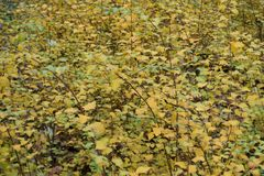 Bushes of germander meadowsweet in autumn. Bushes of germander meadowsweet in late autumn Stock Image