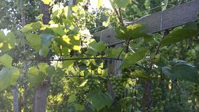 Bushes of green grapes in backlight stock video footage