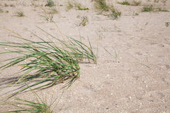 Bushes of green grass on a sandy beach Stock Image