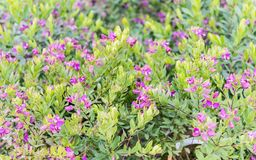 Bushes with green and purple flowers royalty free stock images