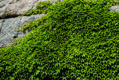 Bushes growing on the rocks Royalty Free Stock Photos
