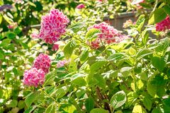 Purple, pink, blue and white hydrangea bushes in a garden. Royalty Free Stock Photography
