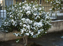 Free Bushes In Snow - Snow In Athens - Rare And Unique Event Stock Images - 83903984