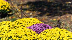 Bushes of Korean chrysanthemums in the garden, Japan. Copy space for text. Bushes of Korean chrysanthemums in the garden, Japan. Copy space for text Stock Image