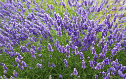Bushes of lavender on a summer day Royalty Free Stock Images