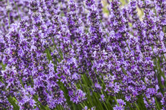 Bushes of lavender on a summer day Royalty Free Stock Image
