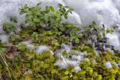 bushes and moss under the snow Stock Photo