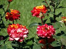 Bushes of multi-colored roses Royalty Free Stock Images