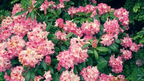 Bushes with pink rhododendron flowers. The camera moves back on the slider. Color correction. stock footage