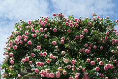 Bushes of pink roses decorating house Stock Photography