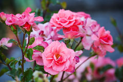 Bushes of pink roses . Stock Photography