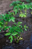 Bushes planted tomato prepayment running water Stock Photography
