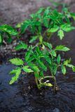 Bushes planted tomato prepayment running water Royalty Free Stock Photography