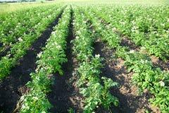 Bushes of potato Stock Images