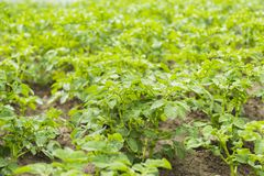 Bushes of potato are in the field Royalty Free Stock Photos