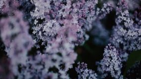 The bushes purple lilac. Close-up stock video footage
