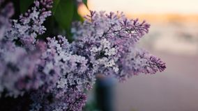 The bushes purple lilac. Close-up stock footage