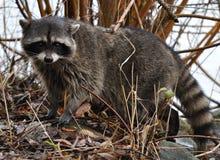 bushes raccoon Стоковое Фото