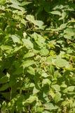 Bushes of raspberry growing Stock Photos