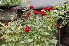 Bushes of red roses near the house in the garden. In the summer stock images