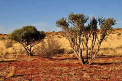 Bushes on red sand, kalahari. Bushes and yellow grass on red sand of dunes in namibian desert Royalty Free Stock Photo